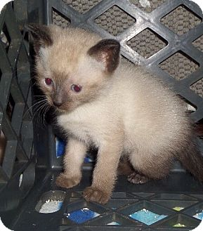 Siamese Kitten for adoption in East Brunswick, New Jersey - Ares