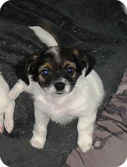 Papillon/Tibetan Terrier Mix Puppy for adoption in Santa Ana, California - Bandit