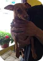 Miniature Pinscher Dog for adoption in McDonough, Georgia - Skittles