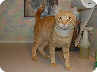 Domestic Shorthair Cat for adoption in North Judson, Indiana - Pickle