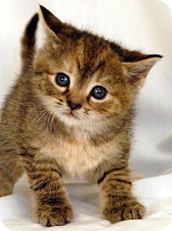 Domestic Shorthair Kitten for adoption in Newland, North Carolina - Bonaparte