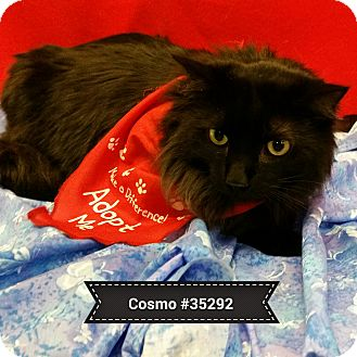 Domestic Mediumhair Cat for adoption in Diamond Springs, California - Cosmo
