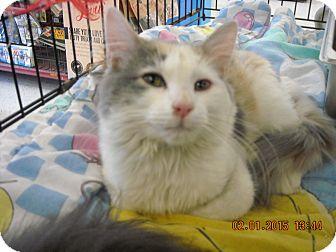 Calico Kitten for adoption in Riverside, Rhode Island - Alice