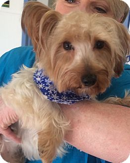 Yorkie, Yorkshire Terrier Dog for adoption in Fairview Heights, Illinois - Niko