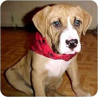 American Bulldog Mix Puppy for adoption in Riverview, Florida - Jax