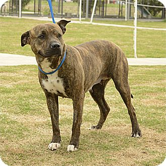 Pit Bull Terrier Mix Dog for adoption in Stillwater, Oklahoma - Ellie