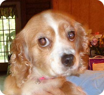 Springer Spaniel Dog for adoption in Crump, Tennessee - Bella