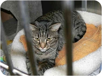 Domestic Shorthair Cat for adoption in Greenville, South Carolina - Tom