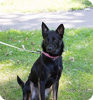 Shepherd (Unknown Type) Mix Dog for adoption in Rockford, Illinois - Jackie
