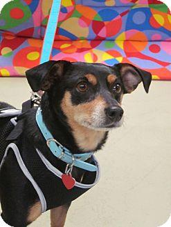 Miniature Pinscher Mix Dog for adoption in Gig Harbor, Washington - Kandie - Adoption Pending