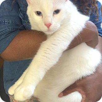 Domestic Shorthair Cat for adoption in Schertz, Texas - Beethoven LC
