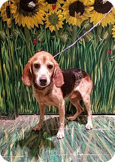 Beagle Mix Dog for adoption in West Babylon, New York - Hunter