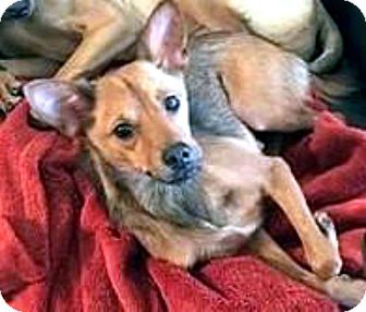 Basenji Mix Dog for adoption in Tijeras, New Mexico - Francesca