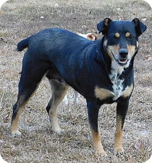 Husky/Rottweiler Mix Dog for adoption in Middletown, Delaware - Jasmine
