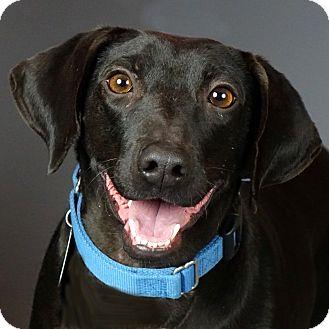 Labrador Retriever/Dachshund Mix Dog for adoption in Columbia, Illinois - Katie