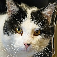 Domestic Shorthair Cat for adoption in Sprakers, New York - Teddy