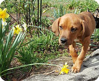 Labrador Retriever/Shepherd (Unknown Type) Mix Puppy for adoption in Sturbridge, Massachusetts - Reggie