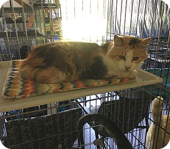 Domestic Shorthair Cat for adoption in Marion, Illinois - Peaches