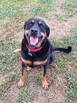 Rottweiler/German Shepherd Dog Mix Dog for adoption in Palm Bay, Florida - Lena