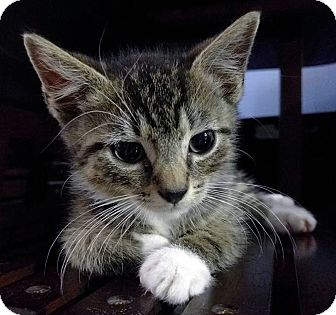 Domestic Shorthair Kitten for adoption in Queens, New York - Wesley