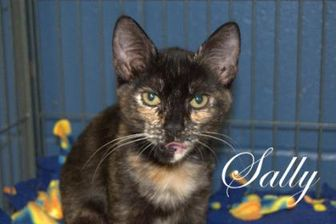 Domestic Shorthair/Domestic Shorthair Mix Cat for adoption in Middleburg, Florida - Sally