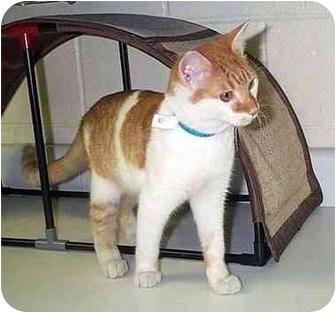 Domestic Shorthair Cat for adoption in Albany, Georgia - Mack