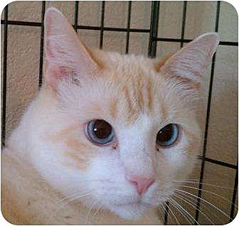 Siamese Cat for adoption in Austin, Texas - Coco IV