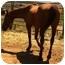 Photo 2 - Quarterhorse/Arabian Mix for adoption in Sac, California - Shawnee