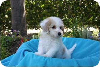 Maltese/Poodle (Toy or Tea Cup) Mix Puppy for adoption in Newport Beach, California - HOWIE