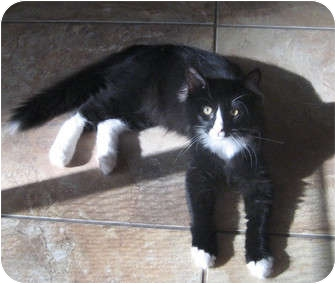 Maine Coon Cat for adoption in Palmdale, California - Cody