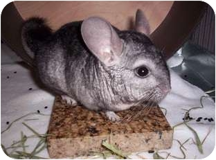 Chinchilla for adoption in Avondale, Louisiana - Diego
