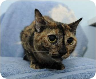 Domestic Shorthair Cat for adoption in New York, New York - Kesha