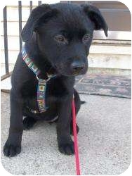 Labrador Retriever Mix Puppy for adoption in Hagerstown, Maryland - Daisy (Fostered in NH)