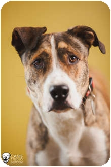 Great Dane/Greyhound Mix Dog for adoption in Portland, Oregon - Bentley