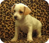 Jack Russell Terrier/Terrier (Unknown Type, Small) Mix Puppy for adoption in Plainfield, Connecticut - Milkshake