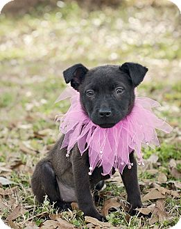Chihuahua/Terrier (Unknown Type, Small) Mix Puppy for adoption in Portsmouth, Rhode Island - Mistle-w/video!