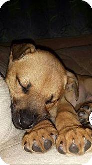 German Shepherd Dog Mix Puppy for adoption in Garden City, Michigan - Noelle