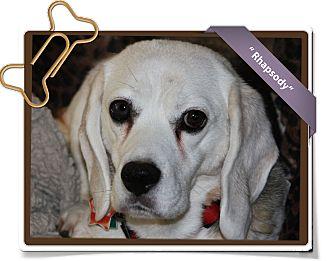 Beagle Dog for adoption in Portland, Oregon - Rhapsody