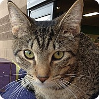 Adopt A Pet :: Loki - Chandler, AZ