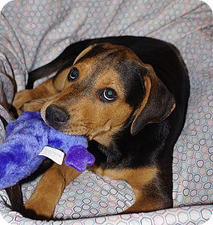 Redbone Coonhound/Retriever (Unknown Type) Mix Puppy for adoption in Albany, New York - Loki (CNC)