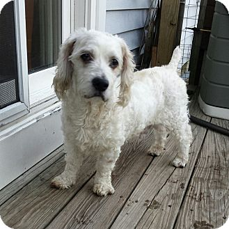Cockapoo Mix Dog for adoption in Manahawkin, New Jersey - Jupiter*PENDING