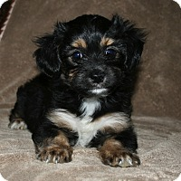 Adopt A Pet :: Athena - La Habra Heights, CA