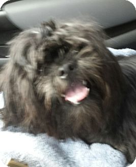 Shih Tzu Puppy for adoption in Mary Esther, Florida - Mason