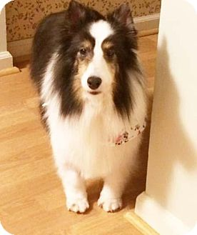 Sheltie, Shetland Sheepdog Dog for adoption in Abingdon, Maryland - Lucy