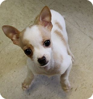 Chihuahua Mix Puppy for adoption in Spring Valley, New York - Ducky