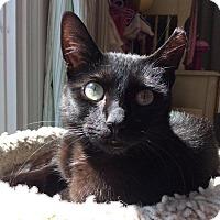 Adopt A Pet :: Cookie Lyon - Chicago, IL