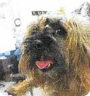 Cairn Terrier Mix Dog for adoption in Spokane, Washington - Ash