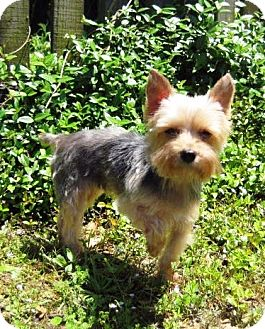 Yorkie, Yorkshire Terrier Dog for adoption in Baton Rouge, Louisiana - Angel