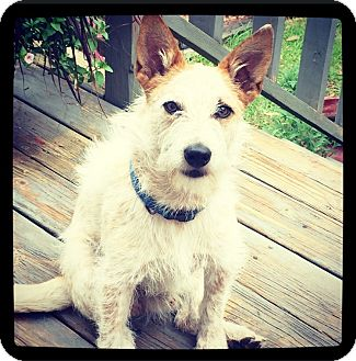 Australian Cattle Dog/Poodle (Toy or Tea Cup) Mix Dog for adoption in Grand Bay, Alabama - Stanley