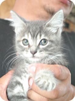Domestic Shorthair Kitten for adoption in San Pablo, California - KITTEN 1